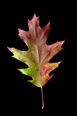 oak leaves: Colorful fall Oak leaf