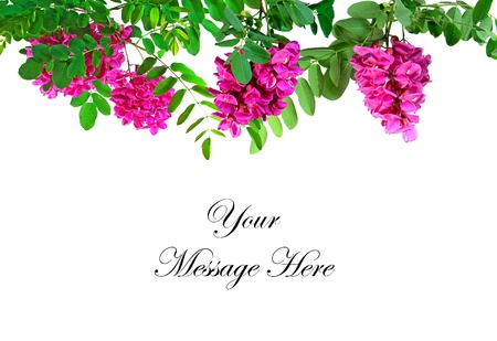 bristly: The flowers and leaves of the Roseacacia Locust tree also known as the Bristly Locust framing a message area on a white background.