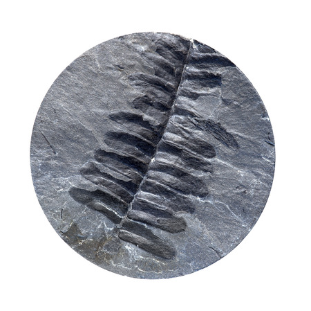 carboniferous: A fossil fern from the Carboniferous period exposed in a coal mine drill core