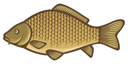 common carp: Carp fish (Common carp) Illustration