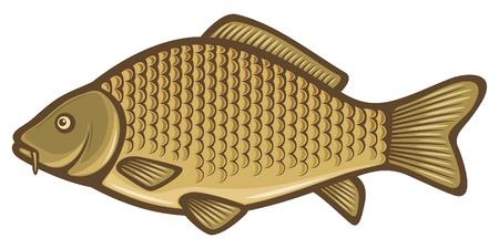 bass fish: Carp fish (Common carp) Illustration