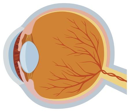 eye anatomy vector illustration anatomy of the eye, illustration of parts of the human eye