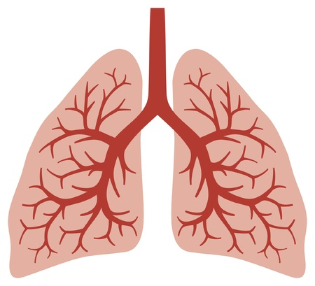 throat: human lungs  bronchial system, human organs, lungs anatomy  Illustration