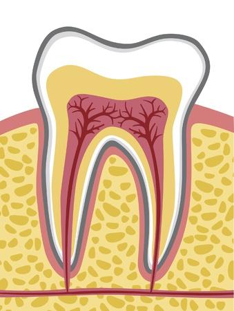 digestive health: Anatom�a del diente Vectores