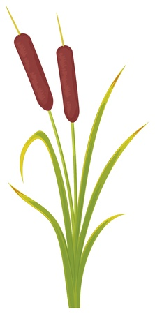 reeds  vector illustration of bulrush, bullrushes and grass  Vector