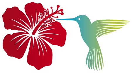 hummingbird and red hibiscus flower  colibri and flower  Vector