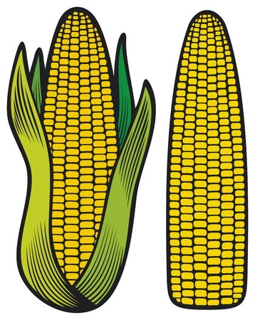 corn crop: corn  corncob, corncob with green leaves  Illustration
