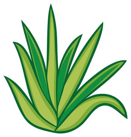 wild botany: aloe vera plant Illustration