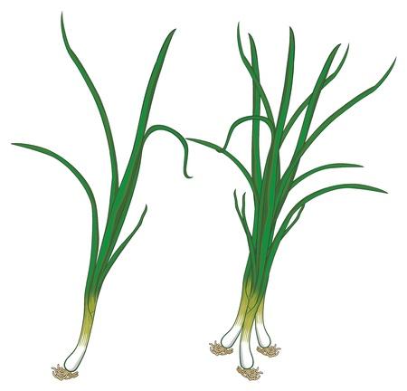 lowbrow: verde, cipolle fresche Vettoriali