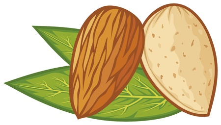 drupe: almond with leaves  almond nut