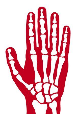 radiography: human skeleton hand vector human hand bones