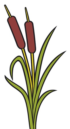 reeds vector illustration of bulrush, bullrushes and grass