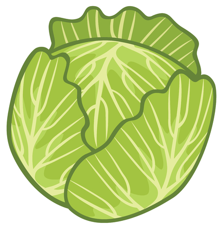 leafy: green cabbage illustration Illustration