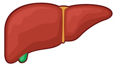 liver - human organ (medicine anatomy)
