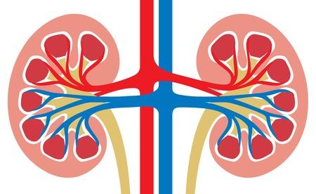 Anatomía del riñón humano medicina Ilustración de vector