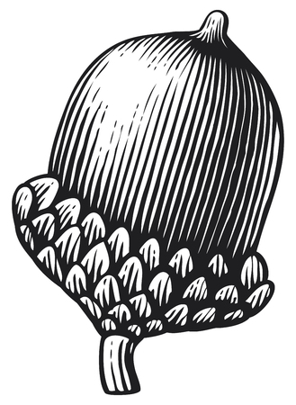 acorn- vintage engraved vector illustration (hand drawn style)