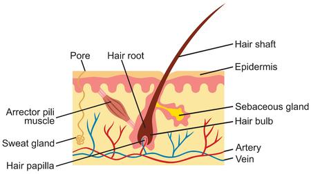 cross: Hair and human skin anatomy illustration Illustration