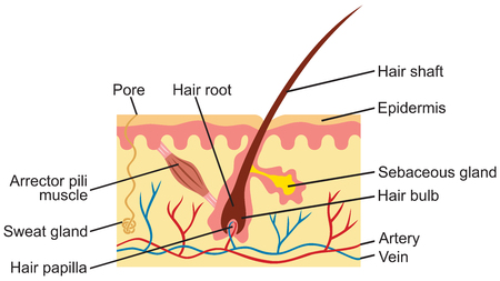 Hair and human skin anatomy illustration Illustration