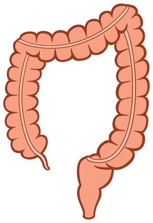 Human large intestine vector illustration