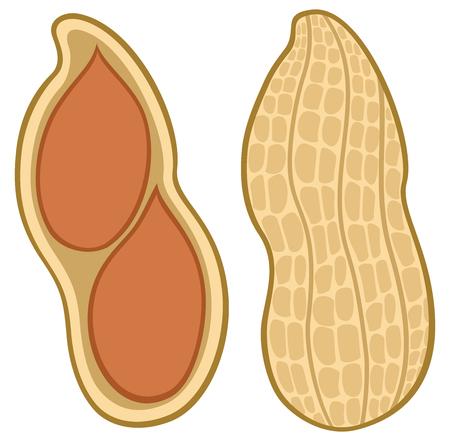 Peanut in shell vector illustration