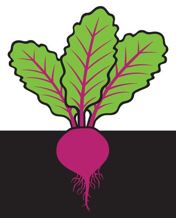 ration: beet vector illustration Illustration