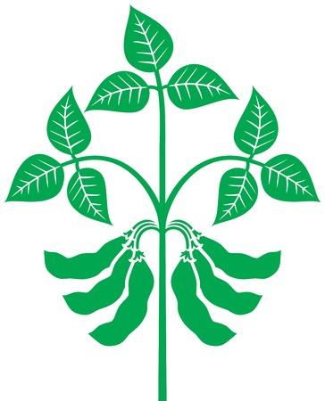 soybean plant vector illustration