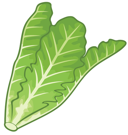 Lettuce flat design isolated vector illustration Illustration