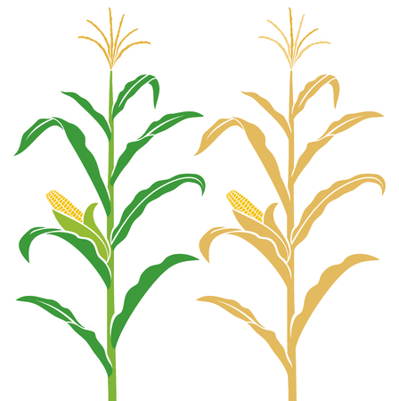 Corn stalk vector illustration.