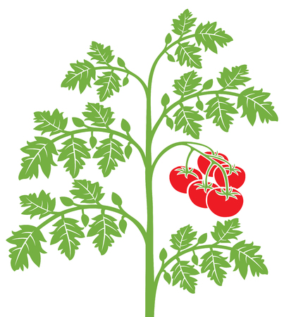 Ilustracja roślina pomidora.