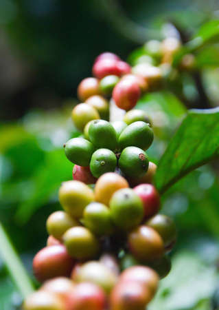 Green, yellow and red beans of coffee tree photo