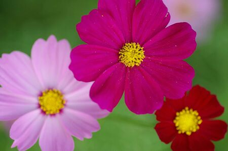 the three colors of cosmos photo