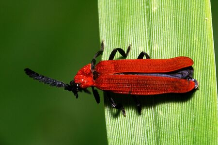 coleoptera: A red beetle, coleoptera Stock Photo