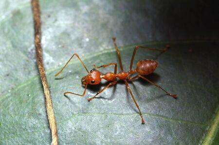 red ant: Una hormiga roja en una hoja
