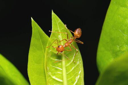 red ant: Una hormiga roja en la hoja verde