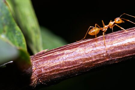 formicidae: A weaver ant and Ixora