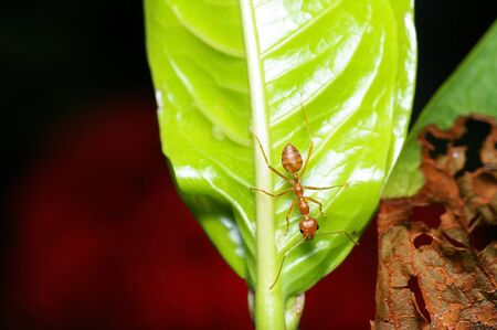 A weaver ant and a leaf