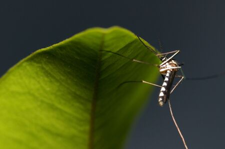 culicidae: Mosquito on the leaf Stock Photo