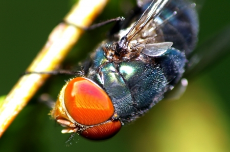 housefly: Housefly face details Stock Photo