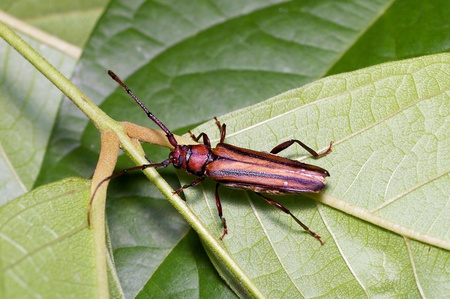longhorn beetle: longhorn beetle on the leaf