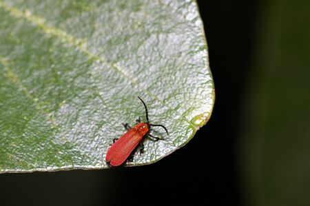 A red beetle on the green leaf
