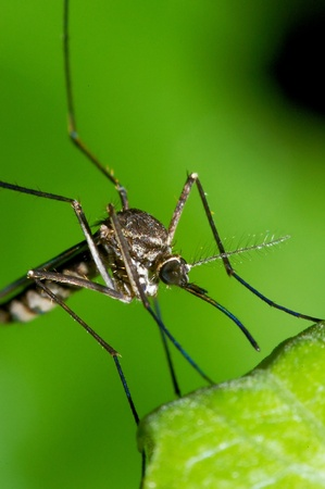A close up picture of the mosquito