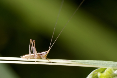 A young long horn grasshopper is on the grass