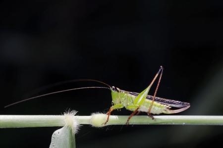 A long horn grasshopper is walking on the grass stem