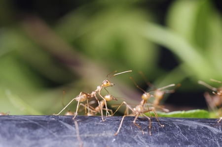 group of weaver ants are moving on the ground