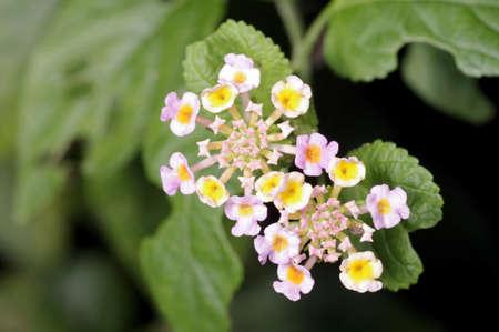 graden: White sage flower in the graden