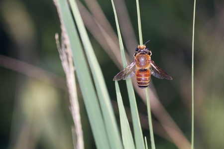 A working bee is resting on the grass