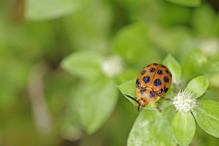 A orange plant beetle is on the green leaf Stock Photo