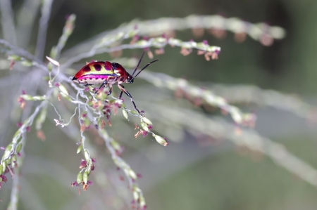 shield bug: a shield bug is moving on the grass leaf