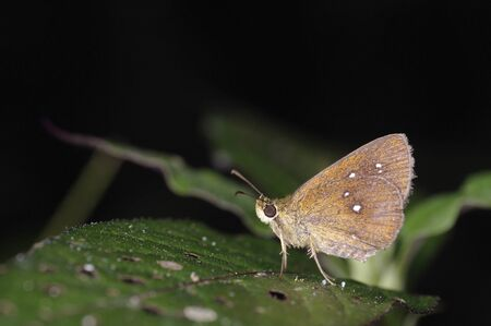A skipper butterfly is on the green leaf