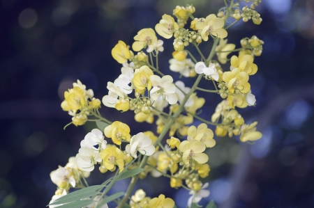 American Cassia flower under the shade